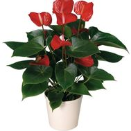 Anthurium - flowers and bouquets on 7roz.kiev.ua