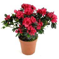 Азалия - цветы и букеты на 7roz.kiev.ua