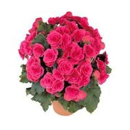 Begonia - flowers and bouquets on 7roz.kiev.ua