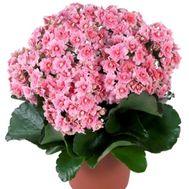 Kalanchoe - flowers and bouquets on 7roz.kiev.ua