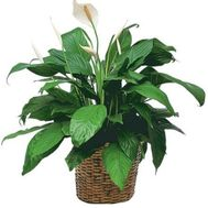 Spathiphyllum (Female happiness) - flowers and bouquets on 7roz.kiev.ua