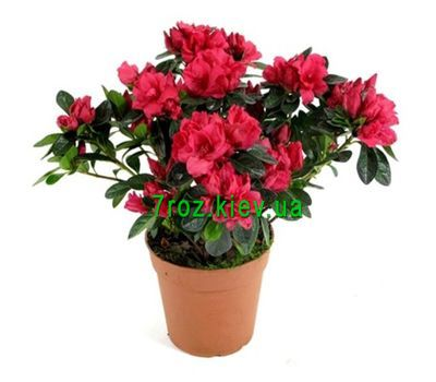 """Azalea"" in the online flower shop 7roz.kiev.ua"