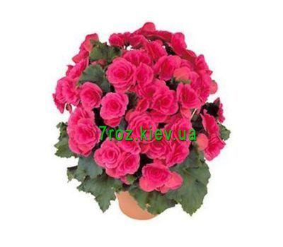 """Begonia"" in the online flower shop 7roz.kiev.ua"