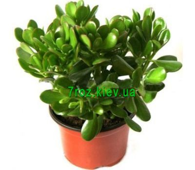 """Crassula"" in the online flower shop 7roz.kiev.ua"