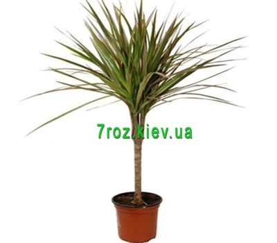 """Dracaena"" in the online flower shop 7roz.kiev.ua"