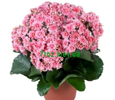 """Kalanchoe"" in the online flower shop 7roz.kiev.ua"