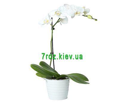 """""""Орхидея фаленопсис белая с 1 веткой"""" в интернет-магазине цветов 7roz.kiev.ua"""