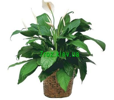 """""""Spathiphyllum (Female happiness)"""" in the online flower shop 7roz.kiev.ua"""